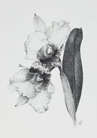 Paul-Evans.-Orchid1V-Pen-and-Ink-on-Paper.-42x59cm.jpg
